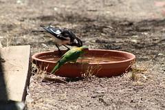 Musk Lorikeet (Runabout63) Tags: birds lorikeets