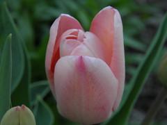 (jordanmclain) Tags: pink summer flower color contrast photography spring focus tulip minimalsim