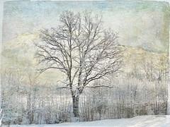 "Tree in winter glory. (Bessula) Tags: winter snow tree art texture nature season bessula ""qualitysurroundings"" magicunicornverybest magicunicornmasterpiece"