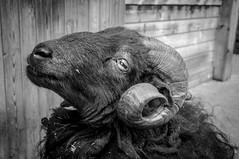 Ready to ram? (DobingDesign) Tags: blackandwhite horns posing devon curly ram woolly paigntonzoo thickwoollencoat