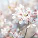 日本櫻花之旅-055