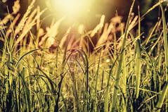Sunny Grass (Adrian-D.) Tags: sunset berlin grass nikon sonnenuntergang gras gegenlicht