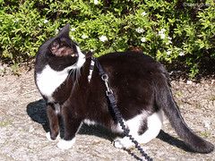 Snow White - walking in spring, 6 (Finn Frode (DK)) Tags: cats spring walk leash snowwhite mixedbreed domesticshorthair snehvide