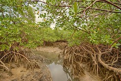 Red Mangrove (Ricardo Solar (Bob)) Tags: landscapes mangrove bahia mangue mangle peninsulademarau rizophora