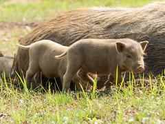 Piglets (Serendigity) Tags: countryside scenery seasia vietnam sapa