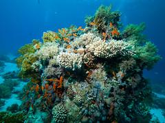 Coral and Inhabitants (altsaint) Tags: underwater redsea egypt panasonic gf1 blueseas