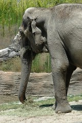 Elephant (PorchPhoto) Tags: california wild elephant animal mammal zoo losangeles nikon nikond70s trunk losangeleszoo