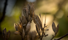 P1450457-1 (picicsoda) Tags: manuallens exakta autumn natural closeup