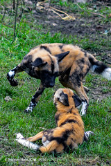 African Hunting Dog (SLHPhotography1990) Tags: 2016 london zoo africa african hunting dog dogs pack zsl pup play