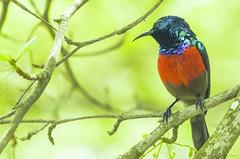 NECTARINE   ---   ( Cinnyris Mariquensis  --  male) (Ezio Donati) Tags: animali animals uccelli birds nikond810 africa cameroun foresta forest albero tree natura nature colori colors