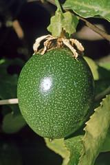 """Valle Gran Rey - Fruchtgarten """"Aragata"""" - Avocado (astroaxel) Tags: spanien kanarische inseln la gomera valle gran rey fruchtgarten aragata avocado"""