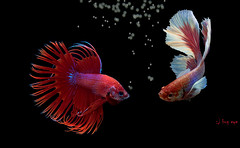 Siam Fighting Fish /  (bug eye :) Thailand) Tags: animals fish fighting fightingfish bettaaplendens wildlife isolated aquatic dragon water black white aggressive tropical zoology tail one power swimming crown splendors luxury freshwater aquarium scale elegant flame biology color colorful blue fire siamese beauty hobby beautiful background fancy domestic space excite nature image pet exotic eye action animal staring hot