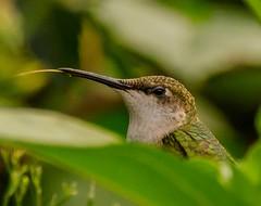 Hummingbird close up (dbking2162) Tags: hummingbird green profile animal birds bird tongue wildlife nature muncie indiana