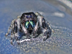 Jumping Spider (Brian E Kushner) Tags: jumpingspider jumping spider platycryptusundatus micro macro conowingo dam conowingodam darlington md maryland nikond500 nikon d500 bug insect brianekushner tamron af 90mm f28 di sp am 11 lens