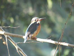 DSC00560 (phenixliu68) Tags: kingfisher  nature bird
