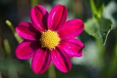 vibrance (jeff's pixels) Tags: dahlia plant flower macro closeup nikon d750 105mm nature beauty dahlie symmetry bokeh
