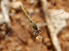 Sympetrum fonscolombii, Red-veined Darter (amantedar) Tags: insect animal fauna sympetrumfonscolombii dragonfly redveineddarter