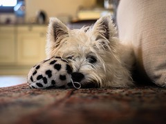 Monday Face (Vintage lens lover - trying to catch up) Tags: terrier pippa westhighlandwhiteterrier hund