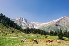 Hoher Sonnblick (Satho73) Tags: alpen aut rauris kolmsaigurn hohersonnblick alm kuh