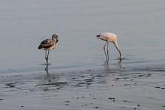 Flamingos (fabioresti) Tags: flamingos per baia bahiaparacas canoneos80d 55250 fenicotteri