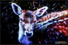 Daim (df38photo) Tags: daim animeaux df38photo df df38 isere rhone lyon glow photoshop color dark rouge