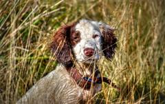 Rupert Bear (Missy Jussy) Tags: rupert springerspaniel spaniel englishspringer dog pets animal grass canon cannon600d canon70200mm dogportrait