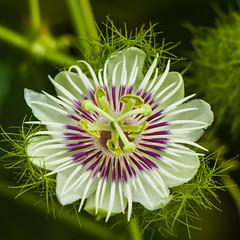 Passiflora (katrinchen59) Tags: passiflora tropicalflower flower blooming blossom beautiful macro marcophotography botanical
