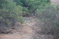 (demiel) Tags: tsavoest parconazionale kenya animaliselvatici wildlife felini leopardo