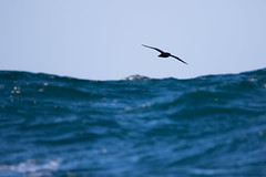 Sooty Shearwater #5 (scilly puffin) Tags: sootyshearwater sapphirepelagics islesofscilly october