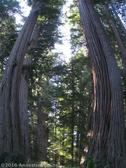 Fisheye Effect on the Redwoods (Anne's Travels) Tags: redwoodnationalpark redwoods ladybirdjohnsongrove california