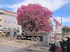 NIRVANA TREE - CEIBA SPECIOSA LISBOA JOURNEY (Honevo) Tags: honevo hnevo nirvana tree ceibaspeciosa lisboa
