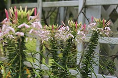 Pretty maids all in a row (~ Liberty Images) Tags: garden gardentour nature creation verdant green lovely ohio libertyimages flora flowers cleome ithink