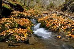 Feuilles mortes en automne (pascal_roussy) Tags: ruisseau eau water brook paysage landscape feuille automne fall canada qubec gaspsie nature nikon d3100