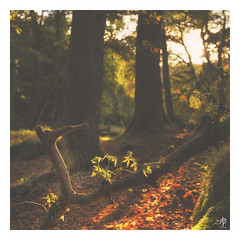 Mirkwood... (fearghal breathnach) Tags: manorkilbride cloghleagh wicklow forest dof bokeh autumn haze cobweb leaves trees blur goldenhour mirkwood web