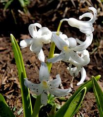 Hyacinth (Sharon's Art Shots) Tags: ontario canada portdalhousie spring hyacinth