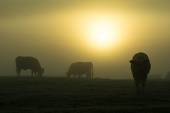 20161010-11_Hazy Sun_Dawn Mists + Cattle (gary.hadden) Tags: rugby warwickshire littellawford kingsnewnham middleengland landscape dawn sunrise mist softlight goldenhour cow cattle bullock cows