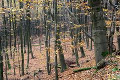 19-IMG_7010 (hemingwayfoto) Tags: buchenwald freizeit herbst herbstlaub mittelgebirge november panther taunus wald wanderung