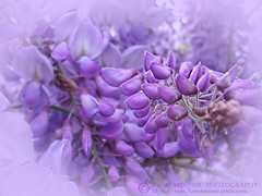 Wisteria in the Mist by Kaye Menner (Kaye Menner) Tags: photography wisteriainthemist wisteria mauvewisteria lilacwisteria vignette mistyvignette wisteriasinensis wistaria fabaceae flower flowers mauveflowers lilacflowers macro kayemennerphotography kayemenner vine wisteriavine plant garden nature botanical flora mauveflora floral mauvefloral petals mauvepetals lilacpetals buds wisteriabuds pretty kayemennerfloral mauve purple lilac mauvelilac lilacmauve floralwallart wisteriaart