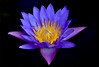 DSC_0051 Water lily for you with love (tsuping.liu) Tags: outdoor organicpatttern blackbackground bright blooming nature natureselegantshots naturesfinest flower water waterlily aquaticplant plant petal photoborder perspective pattern photographt