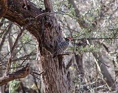 Lake Patagonia, AZ (Pritzap) Tags: woodpecker downy downywoodpecker lake lakepatagonia arizona