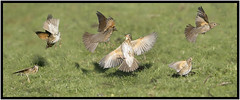 Turf Wars (CliveDodd) Tags: song thrush turdus philomelos