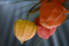 Toepasselijk voor vandaag Lampion (zaqina) Tags: lampion bloem sint maarten martinus jodenkers nikon d5500