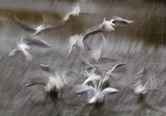 WirWar (Ron Giesbers) Tags: nature gulls seagull roscarbery westcork birds impressionistic slowshutterspeed
