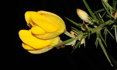 Gorse 061216 (3) (Richard Collier - Wildlife and Travel Photography) Tags: naturalhistory flora flowers flowersenglishflowers wildflowers flowerheads macro macroonblack