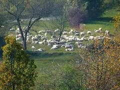 bucolica (giorgio 12) Tags: natura gregge pecore prato colori autunno