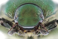 マメコガネ Popillia japonica Newmann, 1844-3-3 (seabassando) Tags: コウチュウ目 coleoptera カブトムシ亜目 polyphaga コガネムシ上科 scarabaeoidea コガネムシ科 scarabaeidae スジコガネ亜科 rutelinae anomalinipopilliina