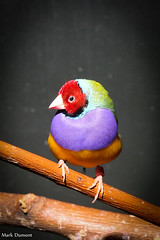 234A5018.jpg (Mark Dumont) Tags: gouldian animals birds cincinnati dumont finch mark zoo