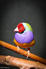 234A5018.jpg (Mark Dumont) Tags: gouldian animals birds cincinnati dumont finch mark zoo