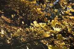 Autumn breeze among the maples (Jim 592) Tags: japanese maple acer palmatum westonbirt arboretum tree yellow autumn