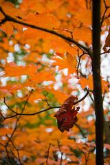 (W4115y) Tags: thorpperrow perrow thorp autumn leaves leaf colour ianwalls ian nikon nikond3200 nature northeast northyorkshire